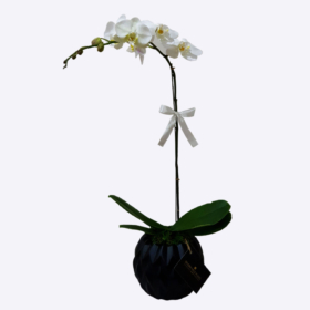White Orchid in Black Vase
