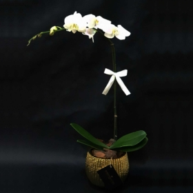 White Orchid in Gold Vase